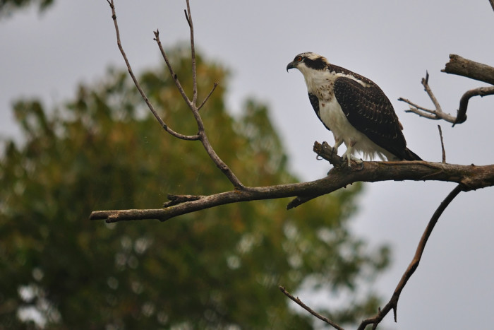 An osprey perched at Crystal Springs Lake near Fairbury.