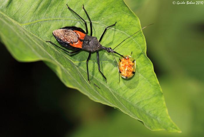 12. Assassin Bug