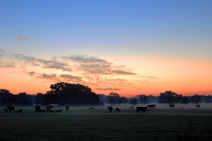 6) A breathtaking sunrise greets these sleepy cows as another day on the farm begins.
