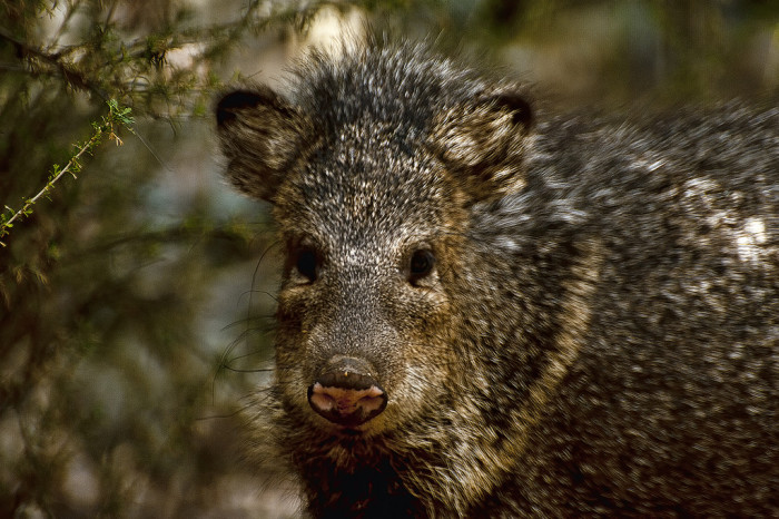 5. Mmm, bacon. I mean, look at this javelina looking at you.