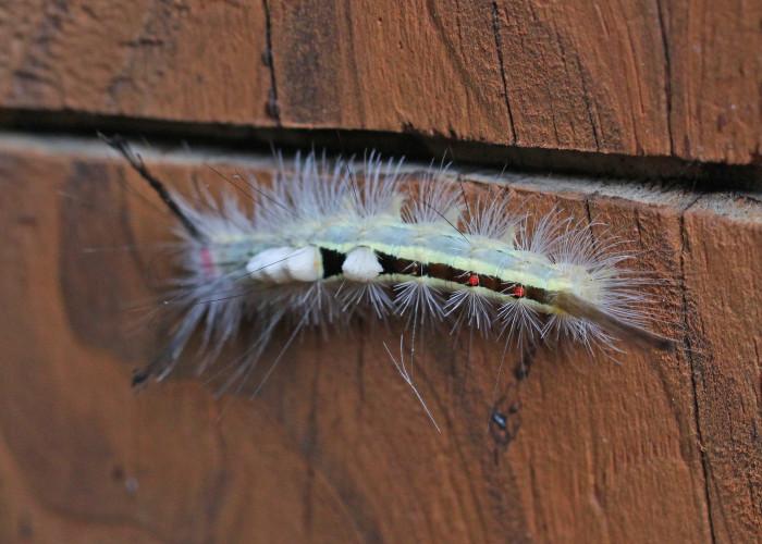 5. White-Marked Tussock Moth Caterpillar