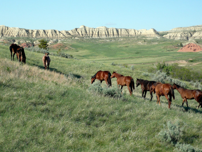 13. A herd of wild horses in the badlands of Theodore Roosevelt National Park.