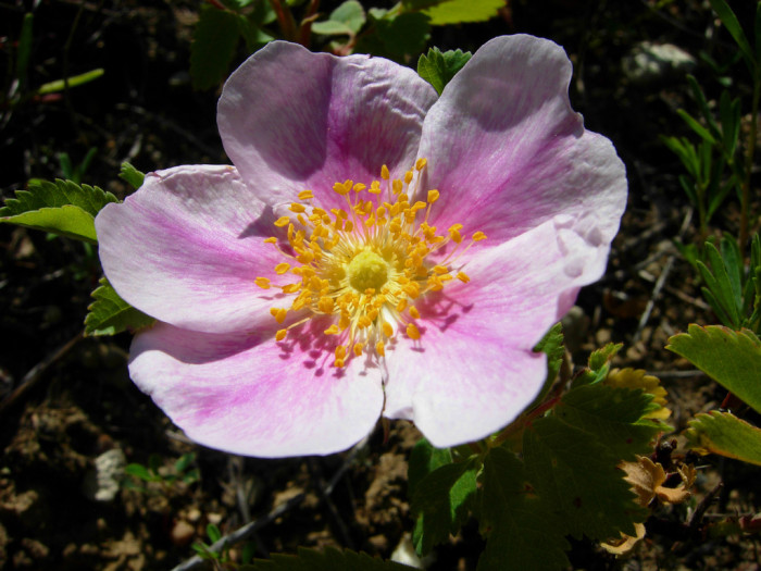 2. The Wild Prairie Rose is the official state flower of North Dakota.