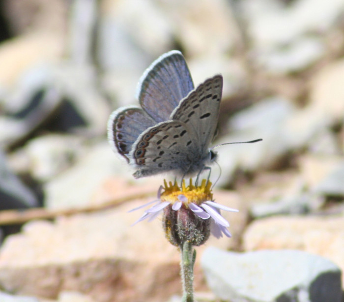 6. A beautiful Mt. Charleston Blue Butterfly in the Spring Mountains National Recreation Area of the Humboldt-Toiyabe National Forest.