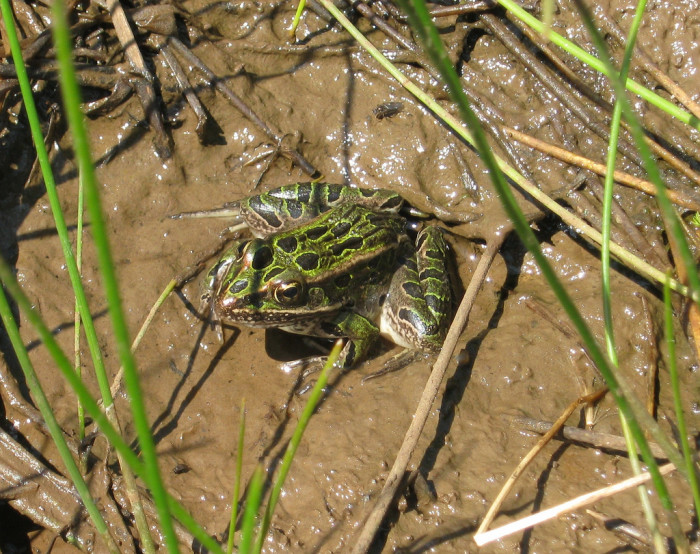 2. Frogs are especially loud, including this northern leopard frog pictured below, after the summer rains.