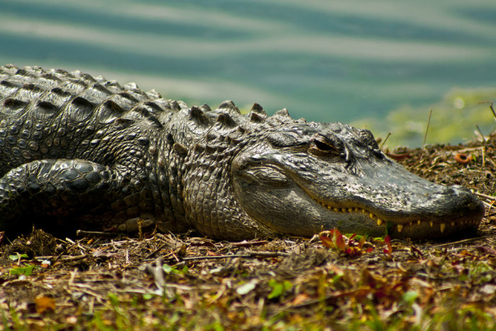 1) Alligators, and many other wild animals