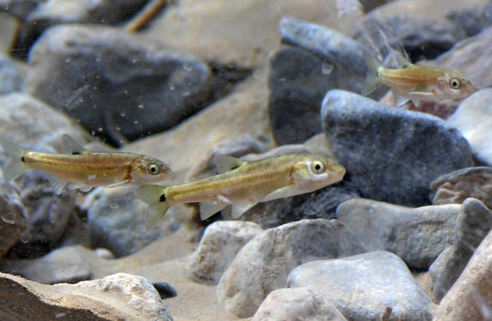 11. Moapa dace swimming in the Muddy River in Southern Nevada.