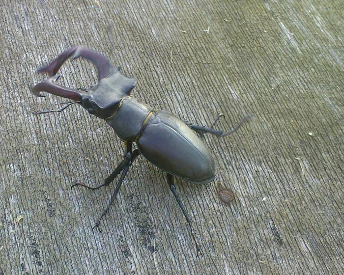 13. Stag Beetle