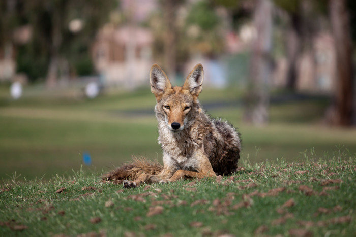 8. Here's an urban coyote enjoying a sunny day on the golf course.