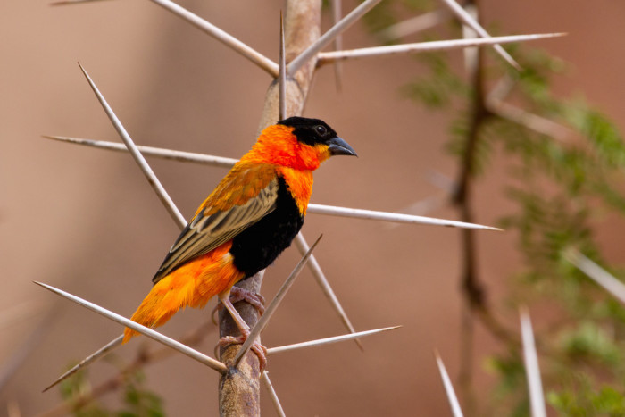 This vivid Northern Red Bishop Weaver was spotted in the Desert Dome at the Omaha Zoo.