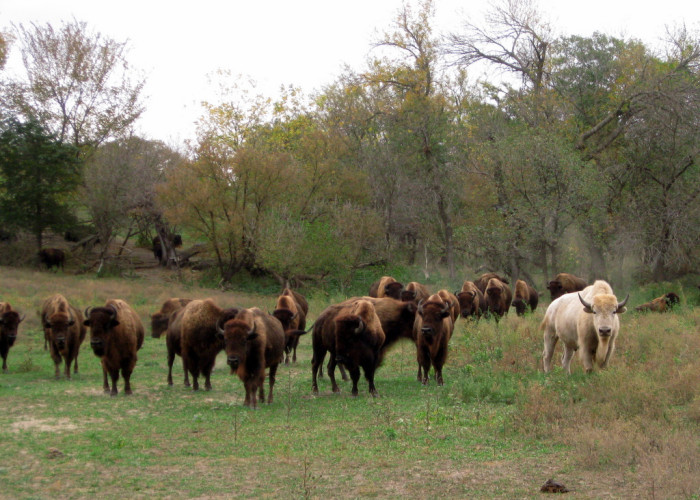 A herd of buffalo at the Lee G. Simmons Conservation Park and Wildlife Safari, including a lovely fair-colored individual.