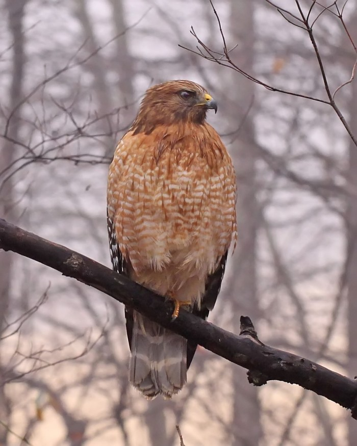 1) A beautiful hawk against the backdrop of a dawn's first light.