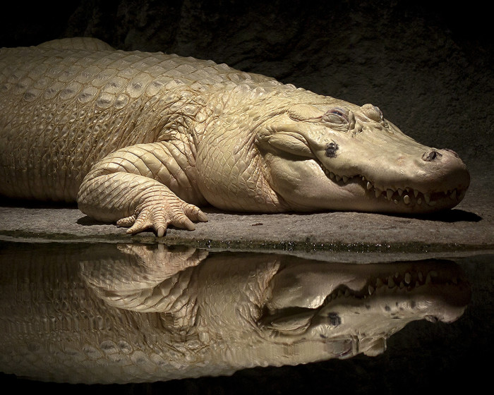 2) White Alligator