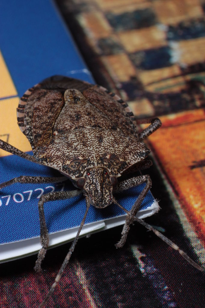 8.) Brown marmorated stink bug