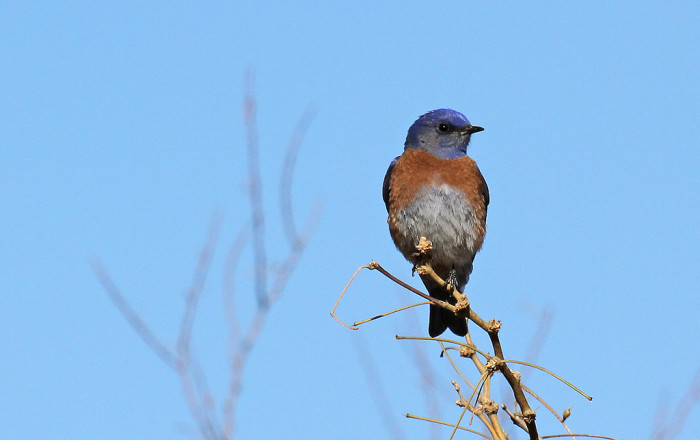14. This western bluebird enjoys a quiet morning alone.