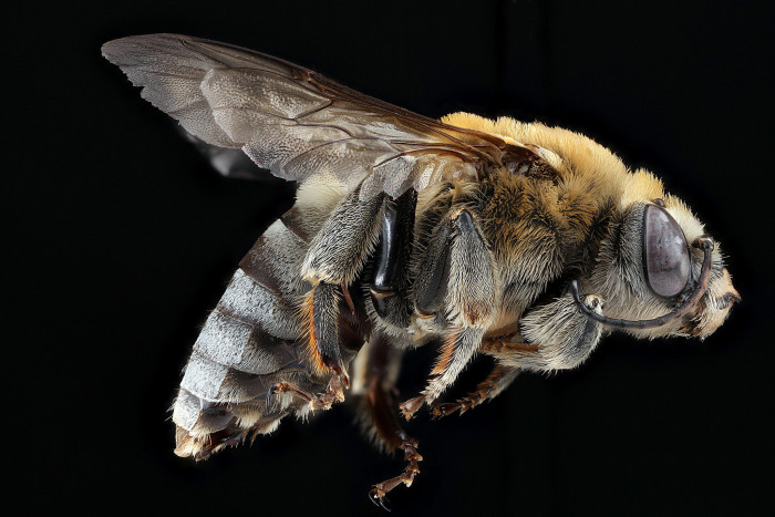 2) Another bee...(Cemolobus-ipomoeae)