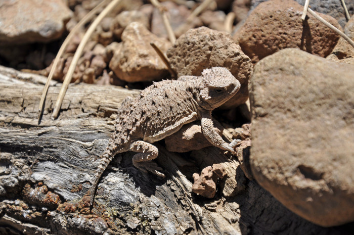 "15. Navajos refer to the horned lizard as ""grandpa."""