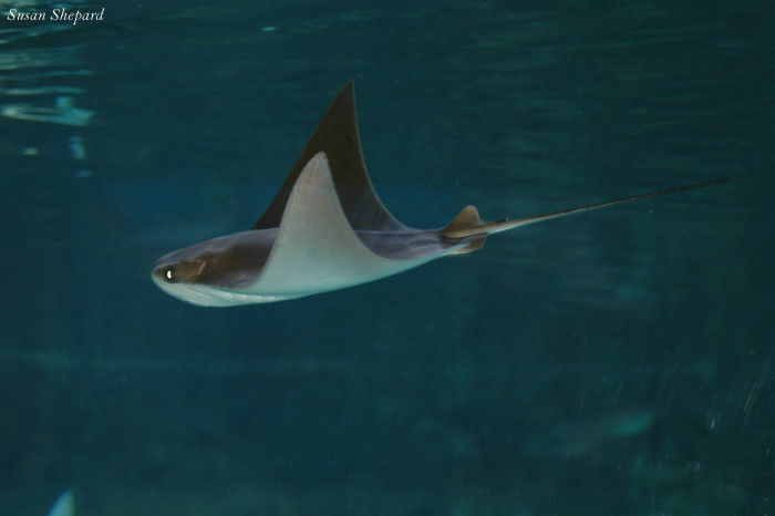 This peacefully gliding sting ray at the Omaha Zoo looks almost like a strange bird in flight.