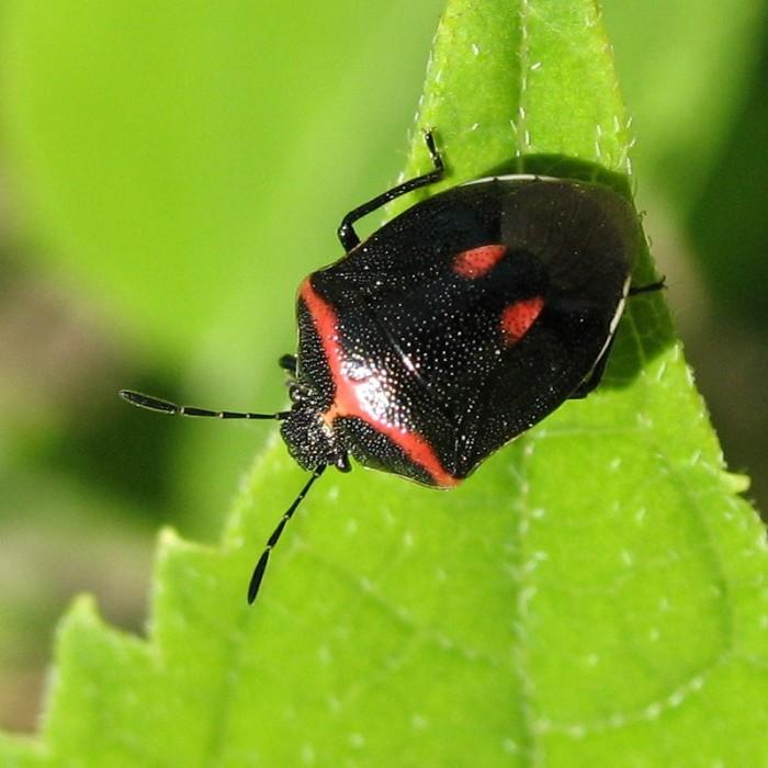 7. Wee Harlequin Bug