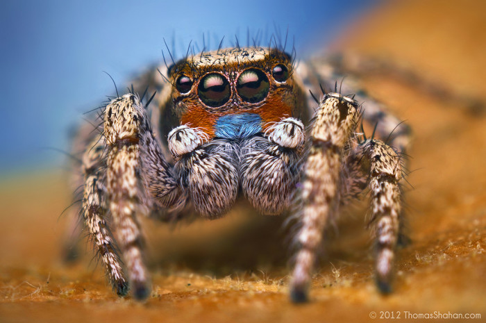 12. Even if you cringe at the thought of spiders, you have to admit the colors on this jumping spider are beautiful.