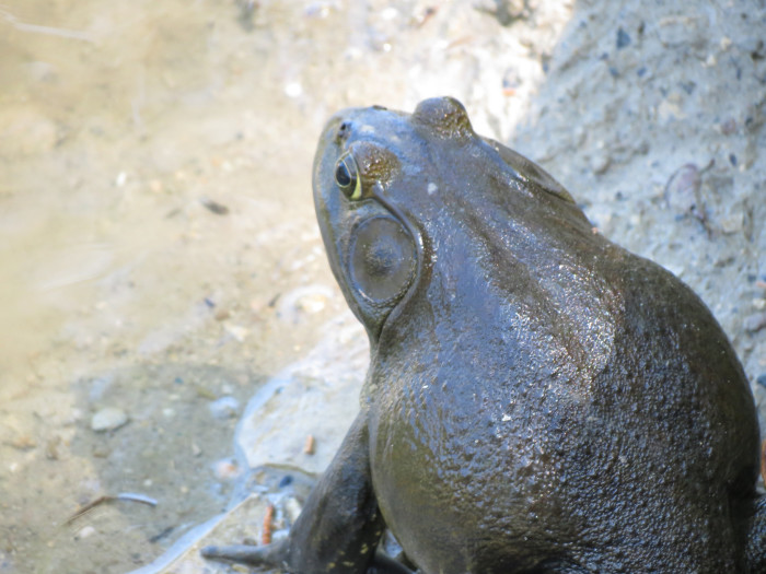 A hefty frog suns itself on the Doane College campus in Crete.