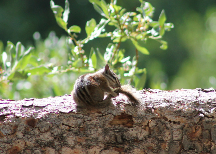 1. A chipmunk in the Ruby Mountains.