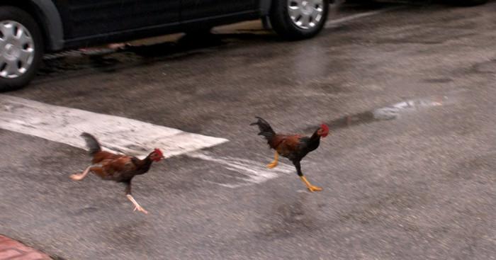 11. Key West Chickens