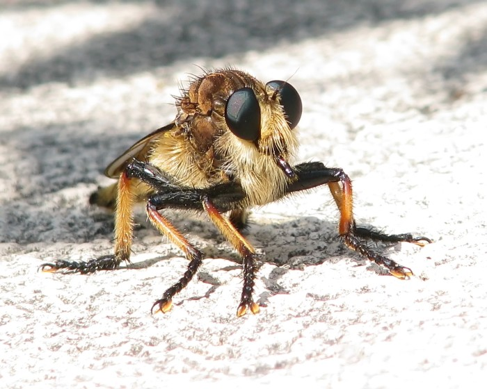 3) Robberfly (Promachus rufipes)
