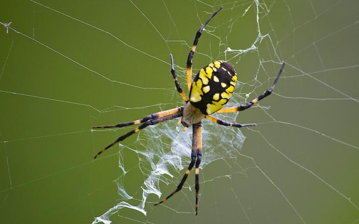 15. Black and Yellow Garden Spider