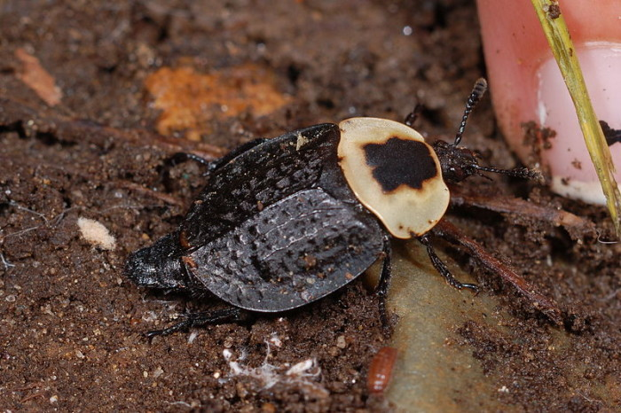 6. American Carrion Beetle