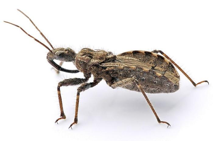 7. Assassin Bug