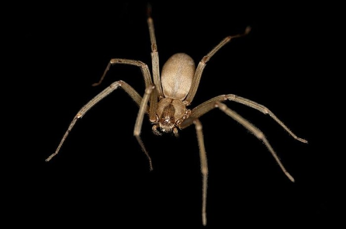 5. Brown Recluse