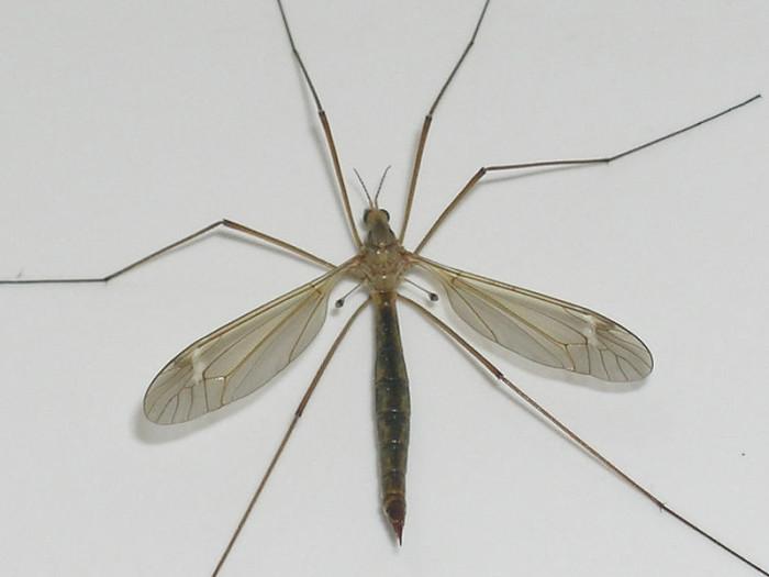 10. Crane fly