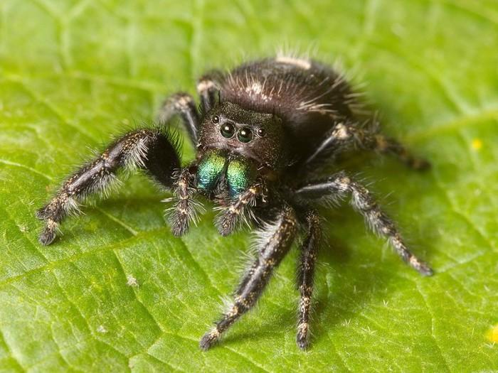 9. Bold jumping spider