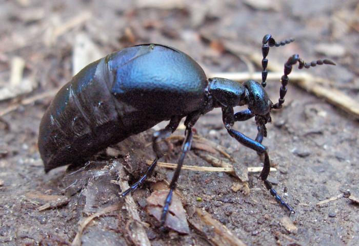 10. American Oil Beetle