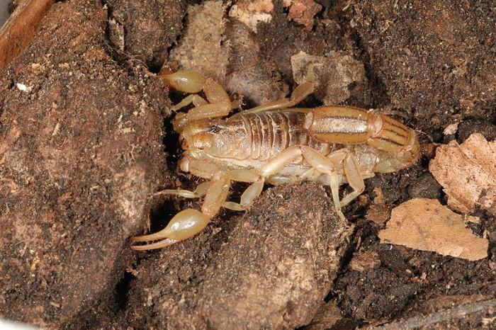 3. Southern Devil Scorpion