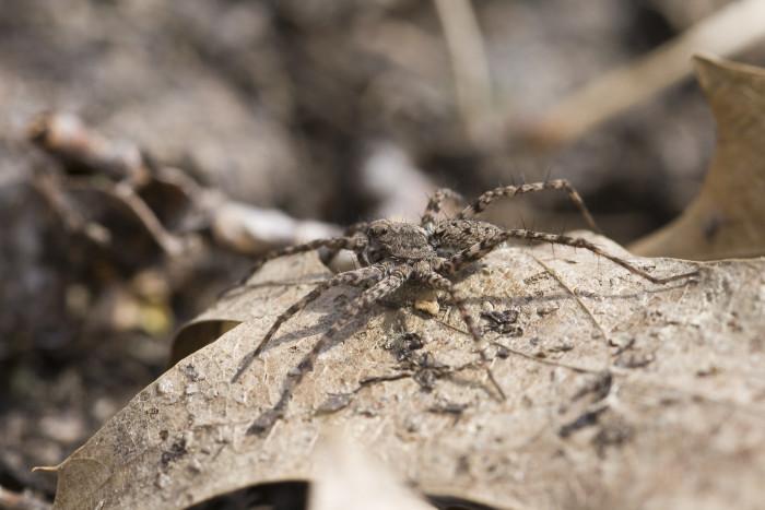 8. Thin-Legged Wolf Spider