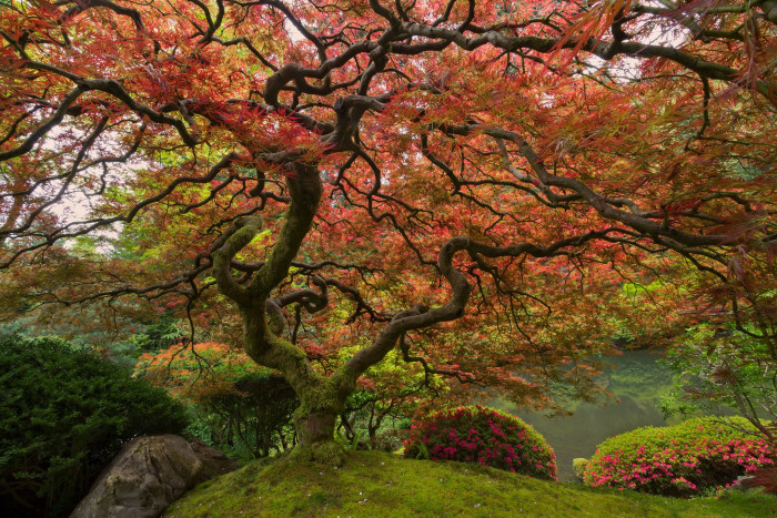 4) Japanese Maple, Portland
