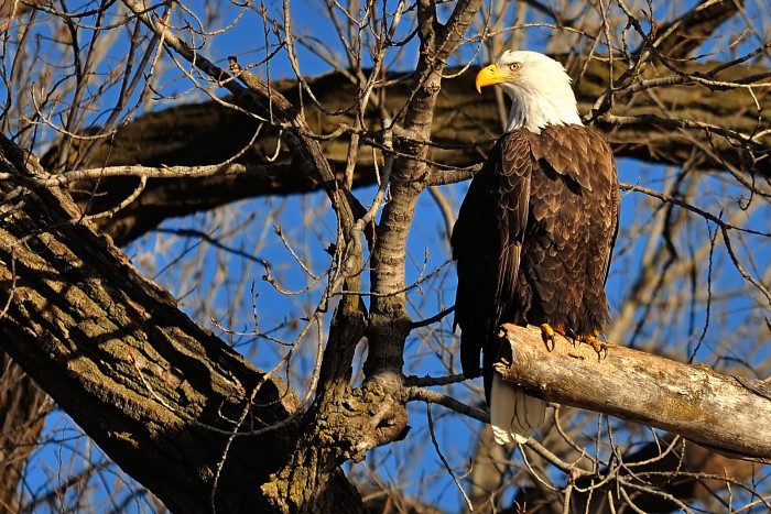 This Bald Eagle Must Have Known He Was Having His Picture Taken - What a Pose!