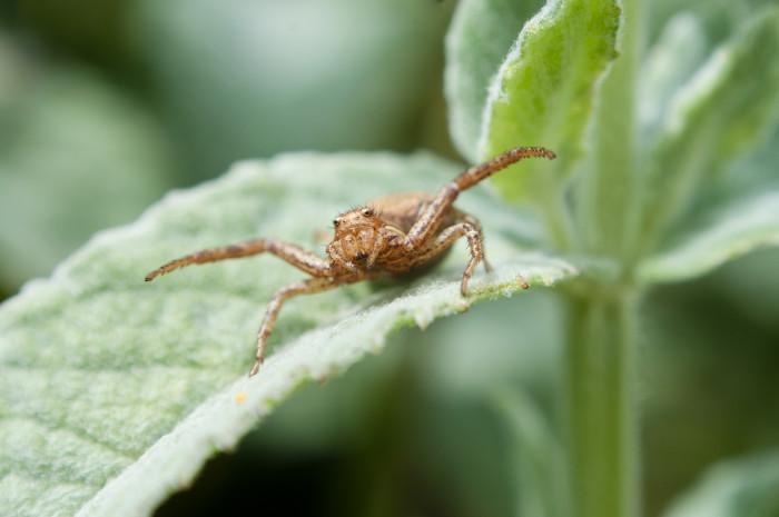 9) Metallic Crab Spider