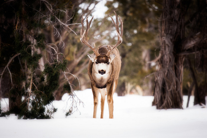 19. This mule deer near the Grand Canyon looks intimidating in the snow.