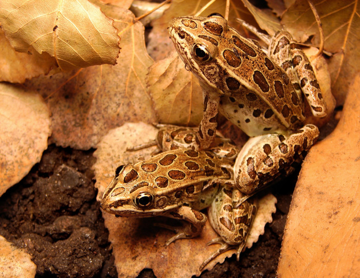 1. A pair of subadult northern leopard frogs in Burleigh County, North Dakota.