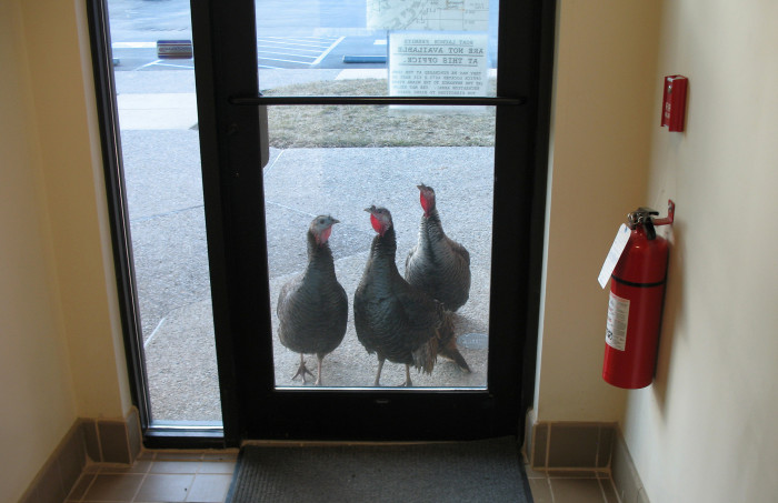 2. Not sure these wild turkeys want anyone going out this door...