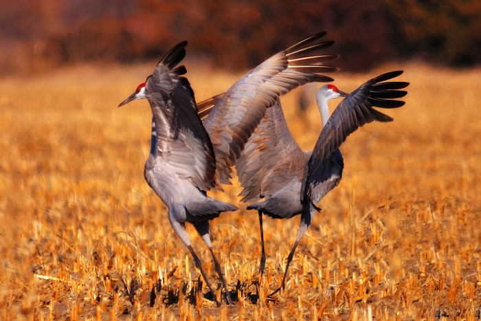 Two Sandhill Cranes Dance in a Field