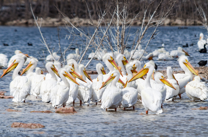 A Flock of Snow-White Pelicans at Crystal Cove Park in South Sioux City