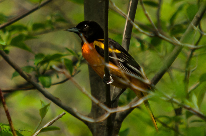 A Baltimore Oriole perches in a tree at Crystal Cove Park in South Sioux City.