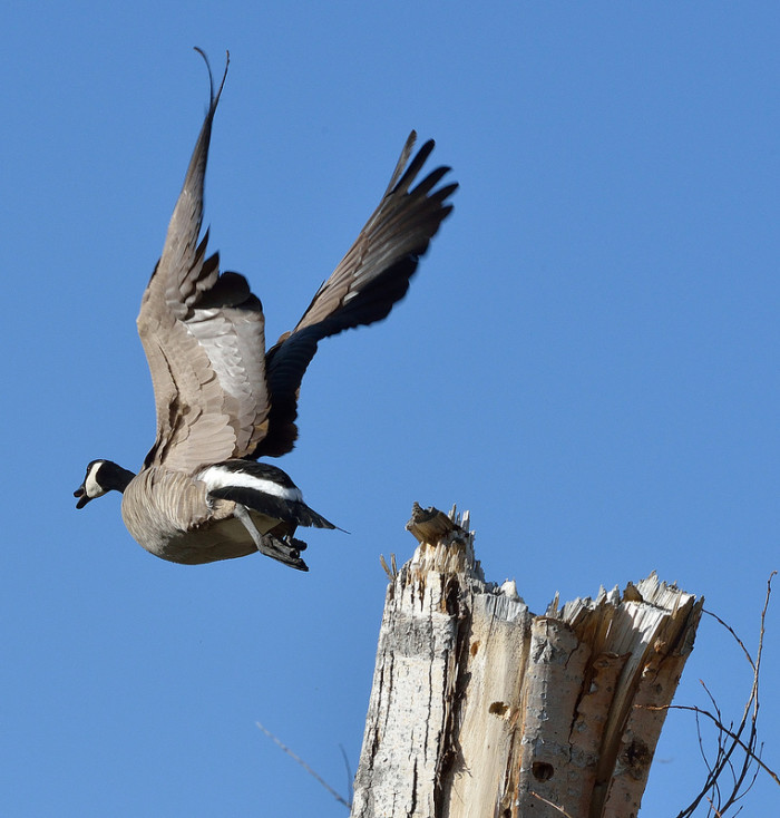 14. A Canadian goose at Crystal Peak Park in Washoe County, Nevada.