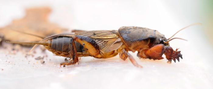 16. Tawny Mole Cricket