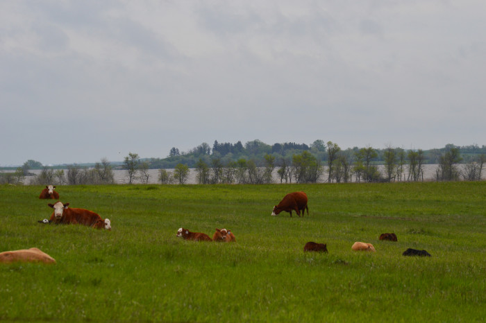 9. A herd of cattle hanging out in the Lake Ilo National Wildlife Refuge.