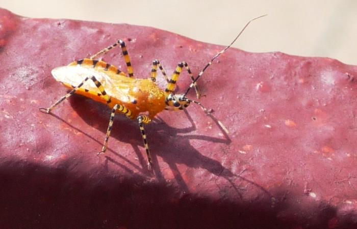 9. Assassin Bug